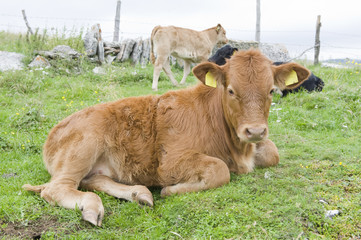 Calf in the Italian Alps (Lessinia).