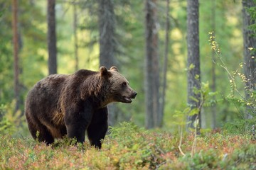 Male brown bear in the forest
