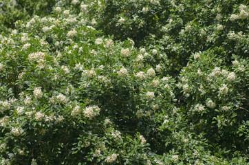 lot of jasmine blossom at spring