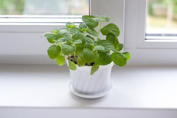 Mint on window