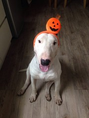 funny bullterrier wears pumkin head