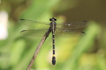Anotogster Sieboldill dragonfly