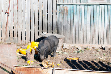 Vietnamese pig in the village yard