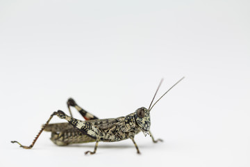Lichen grasshopper in North Carolina