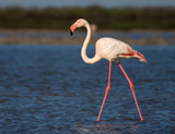 Greater Flamingo (Phoenicopterus roses) in Camargue