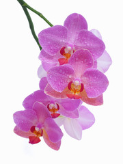 Moth orchid on white background