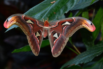 World largest moth,the Atlas moth