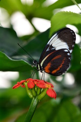 Long wing butterfly feeding on nectar