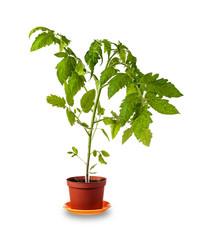 Tomato plant over white