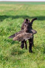Jagdhund bei der Arbeit