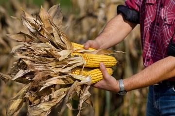 Corn cobs in hands