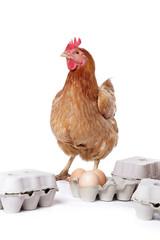 poule avec oeufs