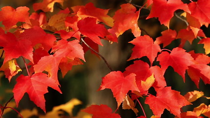 Bright red autumn maple leaves