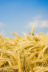 Reife Getreideähren vor blauem Himmel