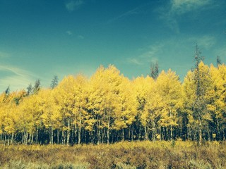 Autumn Aspens in Colorado