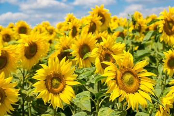 sun flowers field in Ukraine sunflowers
