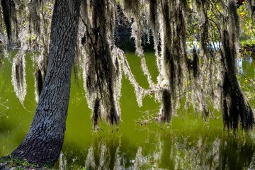 Back-lit Spainish Moss Hanging in the Swampy Bayou