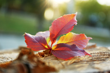 Beautiful autumn leaf on stump