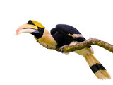 Great hornbill stand on the branch isolate on white background