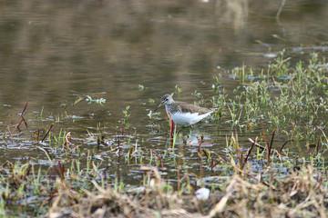 sandpiper bird in the swamp