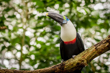 beautiful blue green red white black toucan bird