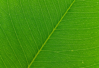 texture of leaf for background