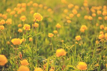 buttercup yellow flowers field