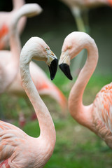 two heads and necks of greater flamingos building heart