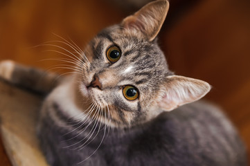 domestic short-haired young whiskered cat sitting and looking
