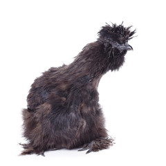 poule nègre de soie noire