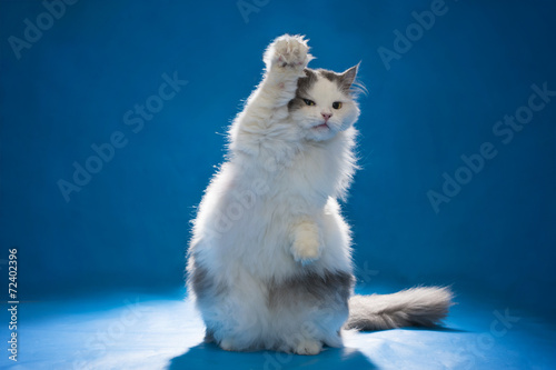 Poster Cat welcomes all paw on blue isolated background