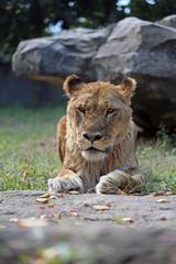 老いた雌ライオン