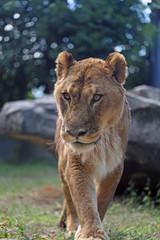 老いたライオンの雌