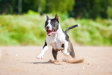 American staffordshire terrier running on the beach