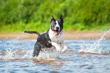 American staffordshire terrier running in the water