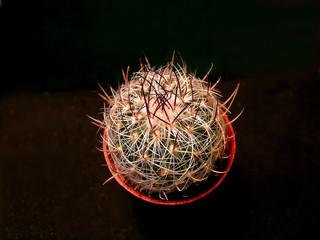 Wavy-edged cactus