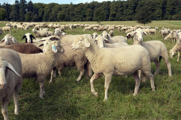 Schafe, Schafherde