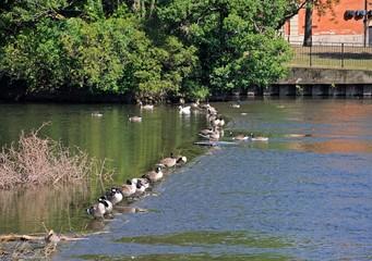 Canada Geese on River Derwent, Derby © Arena Photo UK
