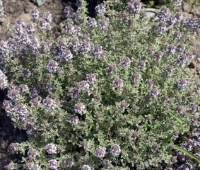 Thymian, Weissrandiger, Silver King; Thymus; vulgaris;