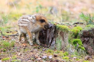 Wild boar, piglet, Sus scofra