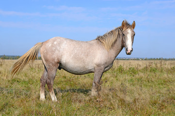 Horse on a summer pasture