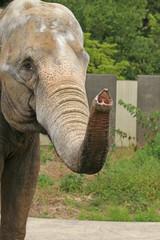 アジアゾウ  -Asian Elephant -