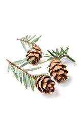 Perfect young fir cones.