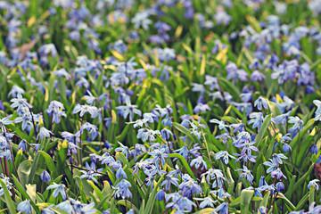 little blue flowers meadow spring background