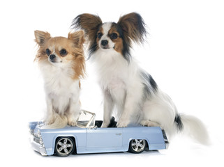 young papillon and chihuahua