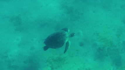 Sea turtle, wild animal swimming in tropical ocean, Red Sea