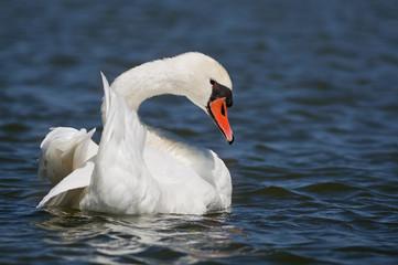 Beautiful swan resting in the water