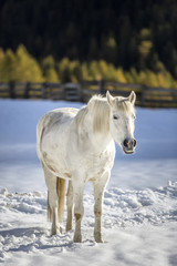 White horse standing on snow