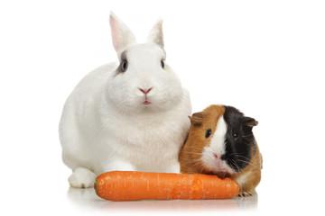 lapin nain et cobaye mangeant carotte