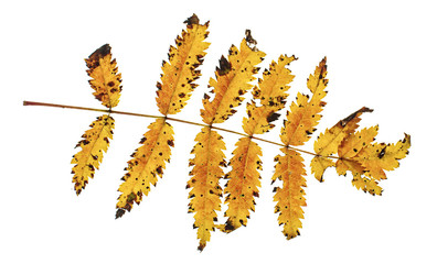 Autumn rowan leaf isolated on the white background